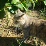 Pisicile frantzuziste…și Capi.